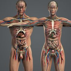 model male female anatomy body - Male and Female Anatomy Complete Pack (Textured). by plasticboy perfect for getting a good idea of whats on the inside. I use this soooo much Human Anatomy Model, Anatomy Models, Medical Anatomy, Muscle Anatomy, Medical Art, Pictures To Paint, Body Painting Pictures, Art Pictures, Anatomy Drawing
