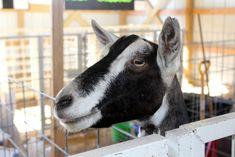 Places to go: Goat Project Meeting #Exhibitors #Goats #SmallAnimalBuilding