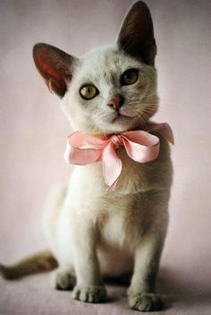 cat with pale pink ribbon