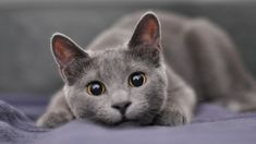 How to tell if your cat is right-pawed or left-pawed. It's a question we're sure has been plaguing all cat-owners since they first laid eyes on their furry #RussianBlueCat