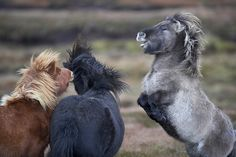 t rex shetland pony All The Pretty Horses, Beautiful Horses, Animals Beautiful, Cute Animals, Horse Photos, Horse Pictures, Cute Ponies, Icelandic Horse, Funny Horses