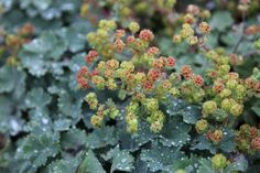 Alchemilla erythropoda (dwarf Lady's Mantle) evergreen, forming neat, compact clumps of bluish-green leaves, which have notched edges and may take on a red flush when grown in full sun. The yellow-green flowers appear in small clusters from late spring and take on russet tones as they age. zone 3-9