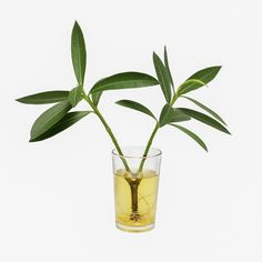 Oleander plants are among the most versatile of shrubs, with dozens of uses in southern and coastal landscapes. For tips on growing and caring for oleander shrubs in the landscape, this article will help. Outdoor Plants, Garden Plants, House Plants, Growing Herbs, Growing Tree, Organic Gardening, Gardening Tips, Oleander Plants, Comment Planter
