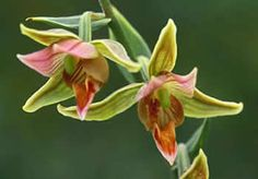 Giant helleborine (Epipactis gigantea), photo by Ian Gardiner, THE ORCHIDS OF BRITISH COLUMBIA
