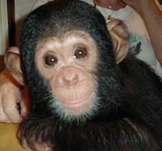 Lucas (baby chimpanzee) with 6 mounths in São Paulo, Brazil.