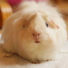 Pretty white guinea pig who was rescued from a field in Highlands Ranch, CO.