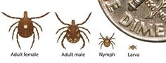 Lone star ticks; Adult female, Adult male, Nymph, and Larva as compared against a portion of a United States DIME coin to demonstrate how small each one is.