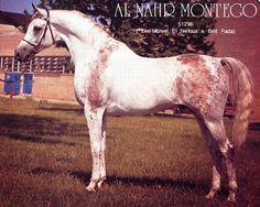 Al Nahr Montego, a gray Arabian stallion with distinctive bloodmarks.