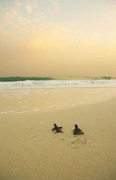 Turtles on Saadiyat Beach, Abu Dhabi
