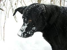 Black lab Labrador retriever dog in snow