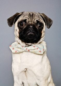 Pug with bow tie!