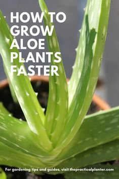 quick guide, find out not only how fast aloe plants grow, but how to make them grow faster.this quick guide, find out not only how fast aloe plants grow, but how to make them grow faster. Types Of Succulents Plants, Jade Plants, Growing Succulents, Planting Succulents, Planting Flowers, Types Of Aloe Plants, Weird Plants, Growing Plants, Cactus Plants