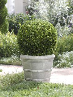 Single Ball Boxwood Topiary