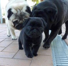 """Acquire great ideas on """"black pug pups"""". They are actually on call for you on our internet site. Acquire great ideas on black pug pups. They are actually on call for you on our internet site. Cute Pugs, Cute Puppies, Dogs And Puppies, Terrier Puppies, Bulldog Puppies, Doggies, Boston Terrier, Black Pug Puppies, Pug Pictures"""