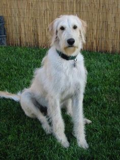 Hanging out with my irish wolfhound...  Jameson