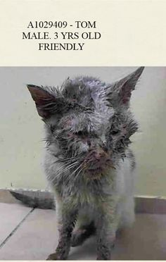 AC&C NYC - Brooklyn Center.  A1029409 - TOM   http://www.petharbor.com/pet.asp?uaid=NWYK1.A1029409  MALE, WHITE / GRAY TABBY, DOMESTIC SH,3 yrs  STRAY - STRAY WAIT, NO HOLD Reason STRAY   Intake condition ILLNESS Intake Date 03/04/2015, From NY 11210, DueOut Date 03/07/2015,  Medical Behavior Evaluation GREEN  https://www.facebook.com/nycurgentcats/photos/a.283783928306268.74139.220724831278845/964516726899648/?type=1
