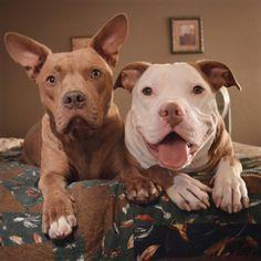 I love Pit Bulls!