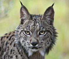 Un lince ibérico Iberian Lynx, Animal Totems, Furry Art, Big Cats, Animals Beautiful, Panther, Beast, Wildlife, Cute