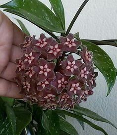 Hoya pubicalyx royal hawaiian purple
