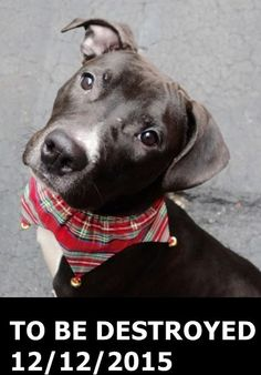 Manhattan Center – P  My name is JD. My Animal ID # is A1059910. I am a male black and white pit bull mix. The shelter thinks I am about 8 MONTHS old.  I came in the shelter as a STRAY on 12/08/2015 from NY 10456, owner surrender reason stated was SEARCH WAR. http://nycdogs.urgentpodr.org/jd-a1059910/