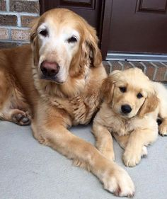Oldster and pup~beautiful goldens