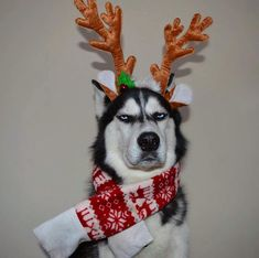 Husky is not happy about playing Rudolph. These pics are hilarious!
