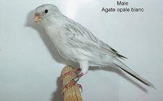 Male-agate-opale-blanc.jpg