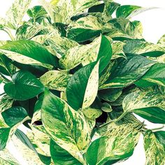 "Low Light Outdoor Plants Custom Hirt's 'marble Queen' Devil's Ivy  Pothos  Epipremnum  4"" Pot Inspiration Design"