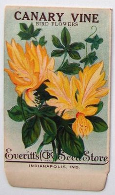 EVERITT'S SEED STORE,  Canary Vine 64, Vintage Seed Packet