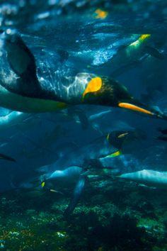 king penguins swimming