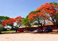 Chivatos en flor. Asunción-Paraguay