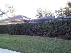 Sweet Viburnum Hedge