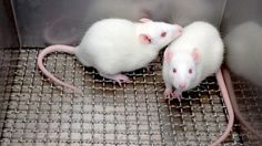 Drug shown to prevent and treat diabetes in mice