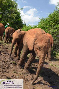 Die schützende Schlammschicht auf ihrer Haut bröckelt mit der Zeit wieder ab, so dass die Elefanten regelmäßig im Schlamm baden oder sich im Sand suhlen müssen. Aga, Elephant, Animals, Kenya, January, Elephants, Bathing, Projects, Animales