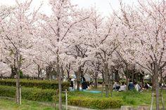 https://flic.kr/p/G2ju4t | Cherry Blossoms, Kema-Sakuranomiya-koen Park, Osaka, 2016 | 毛馬桜之宮公園