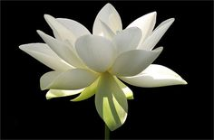 15 Lotus Flower in the Early Morning Sun