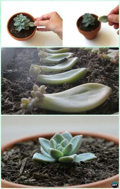 How to Propagate Succulents Instruction- DIY Indoor  #Succulent Garden Ideas Projects