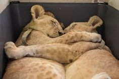 Image result for Lion Cubs