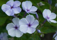 Garden Phlox 'Lisbeth' (Phlox arendsii)