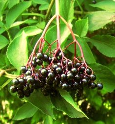 Elderberry boosts immunity and cures eight known strains of flu