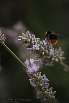 Where is your hive dammit??? I want to honey that comes from this sweet Lavender. Normandy, France.