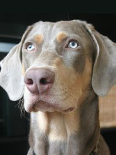 Gorgeous dog!  Designer Dog - Georgian Bay Sporting Dogs (GBSD) Weim/Lab Hybrid