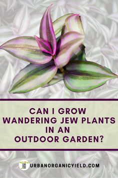 Wander Jew plants are succulent plants are usually know to be grown indoors. However, did you know you can grow them outdoors in your backyard garden? In this post, we go into detail on how you can plant and grow this lovely plant outdoors or backyard. Hanging Succulents, Hanging Plants, Succulent Plants, Cacti, Garden Yard Ideas, Garden Crafts, Patio Ideas, Plant Cuttings, Propagation