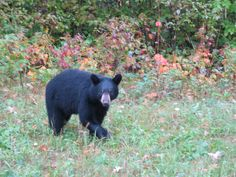 Bears are around, so food needs to be strung up out of reach and not left in tents Kayak Camping, Black Bear, Tents, Kayaking, Red And Blue, Google, Animals, Image, Food