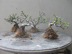Komayumi plants