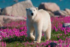 Polar Bear (Ursa maritimus) in fireweed (Epilobium angustifolium) on an island off the sub-arctic coast of Hudson Bay, Churchill, Manitoba, Canada. Cute Polar Bear, Cute Bears, Pictures Of Polar Bears, Bear Photos, Animals And Pets, Cute Animals, Arctic Animals, Wild Animals, Boy Pictures