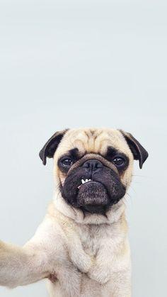 Owww is beautifull i love pugs...♡