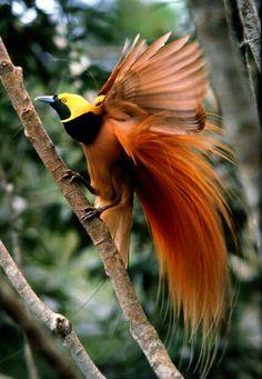 Ave del paraíso raggiana(Paradisaea raggiana) - Es elave nacionaldePapúa Nueva Guinea, y aparece en labandera del país.