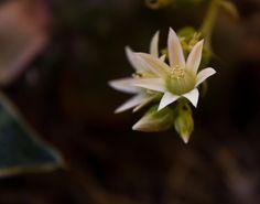 Aeonium sp flowers