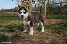 Jordan puppy update 4-13-14 « Bama Huskies